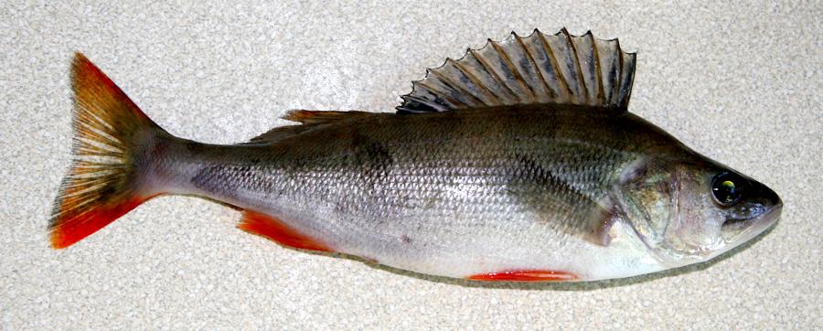 на что клюет рыба елец