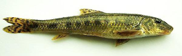 на что клюет рыба пескарь