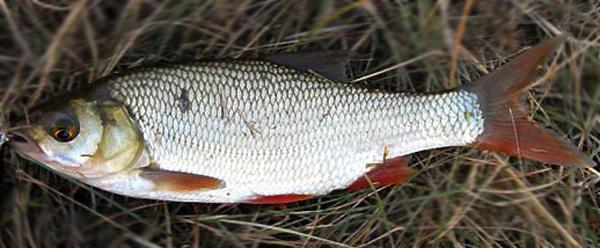 какая рыба клюет на слизней